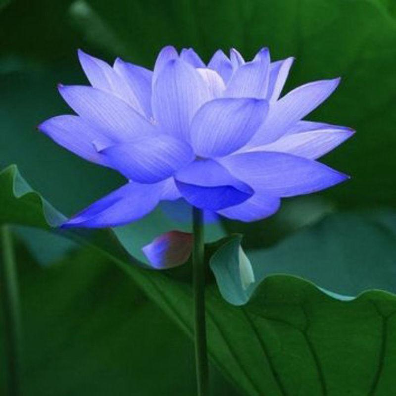 Hoa sen xanh tượng trưng cho tự do