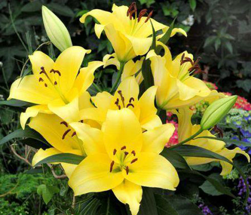 Hoa ly vàng