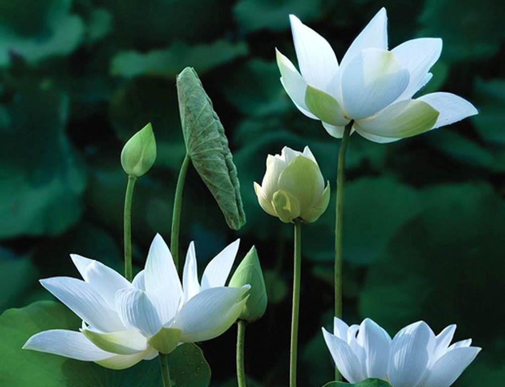 Hoa sen trắng trinh nguyên