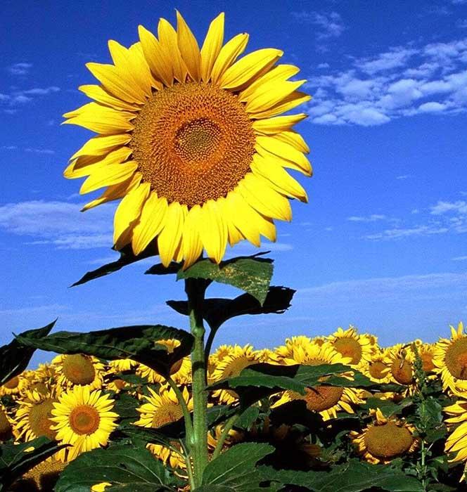 Hoa hướng dương tượng trưng cho sức sống mãnh liệt