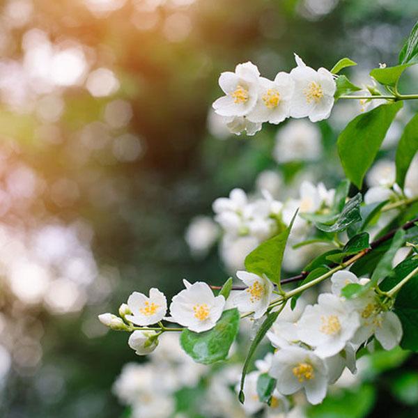 Hoa nhài trắng thuần khiết và tinh khôi
