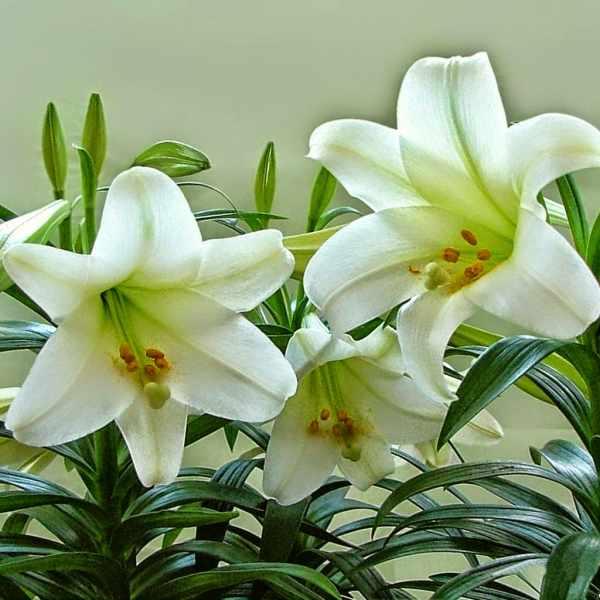 Hoa ly trắng thanh cao, đức hạnh.