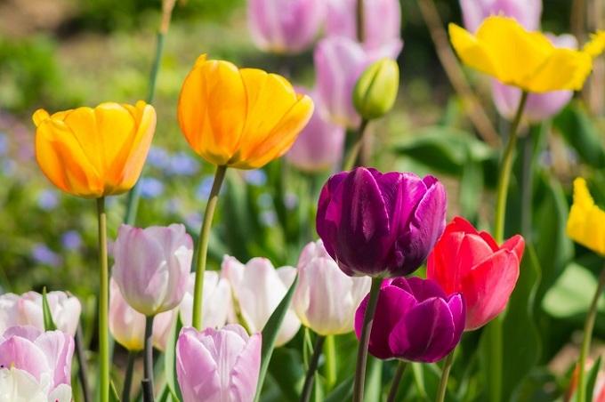 Hoa tulip sở hữu vẻ đẹp bình dị