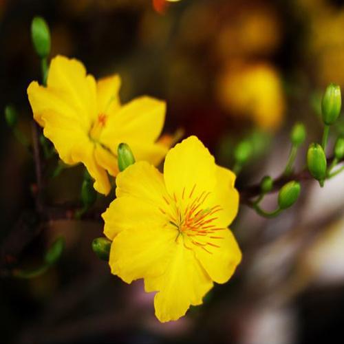 Hoa mai là một trong những loài hoa tết phổ biến