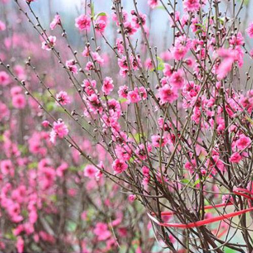 Hoa đào mang lại sự ấm no và bình an